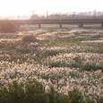多摩サイのススキ畑